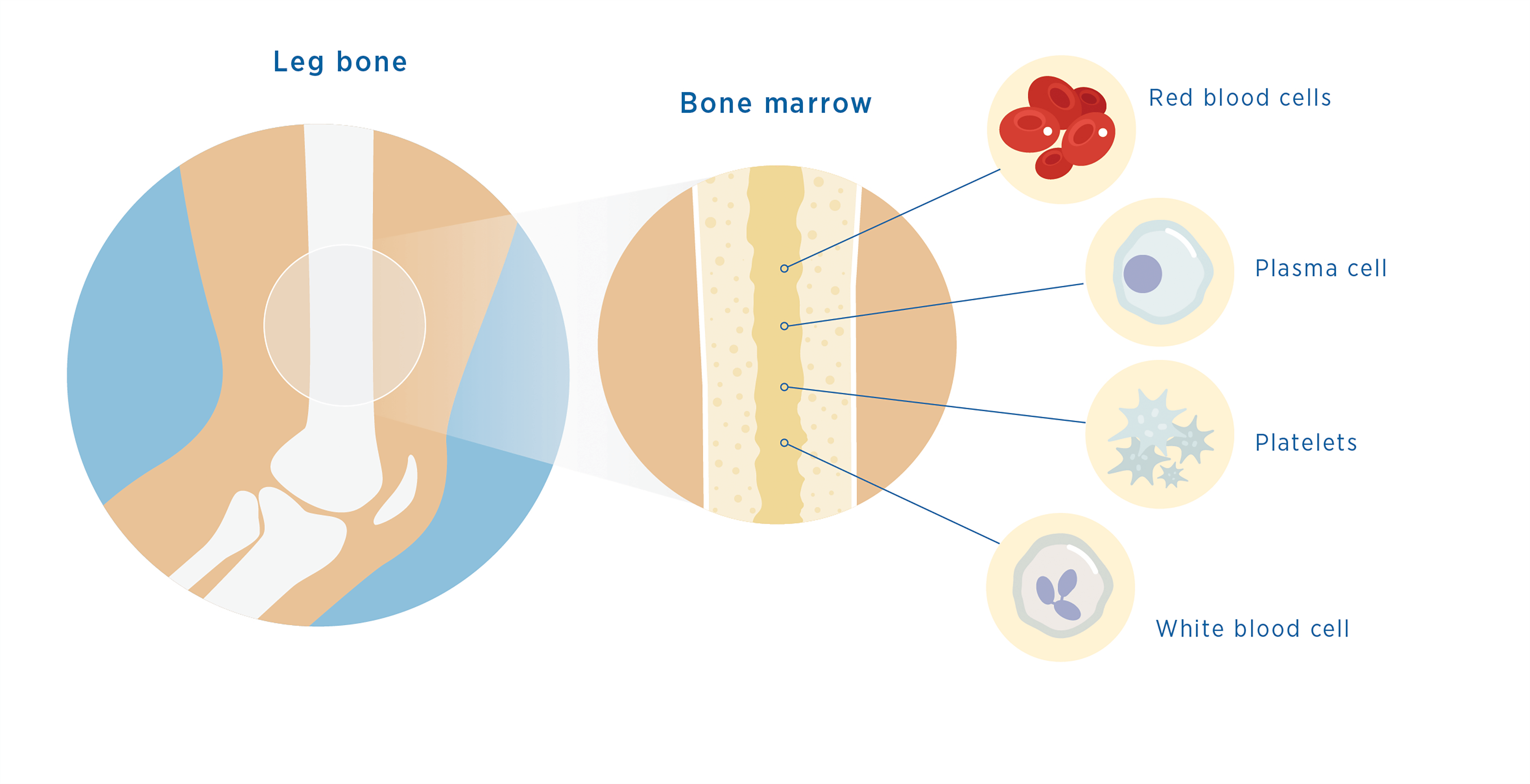 Diagram of bone marrow in the leg